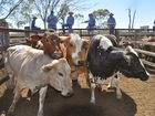 The Grayson Family, Tannymorel, sold cows to export processors 203.2/ 700kg/ $1422 and 181.2/ 627kg/ $1136.