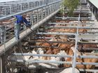SOME 300 cattle were sold at Lismore Saleyards on Tuesday.