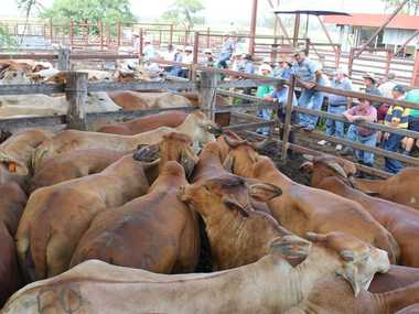 Roy Marbach Jebrocalee sold a run of 45 brahman cross cows averaging 500kgs for 208c/kg to return $1043 at Monto Cattle and Country's Fat and Store sale. Photo: Contributed.