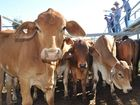 COMPUTERISED models of cattle could allow graziers to change their feeding programs and produce more valuable stock.