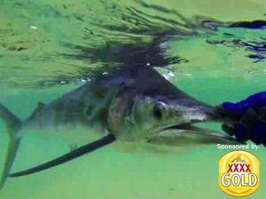 Catching black marlin off the beach