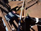 Flint and his new calf are set to be friends for life after meeting at the Kingaroy cattle sale yesterday.