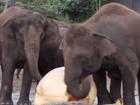 VIDEO: Elephants smashing Australasia's biggest pumpkin