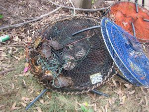 ILLEGAL CATCH: A Bundaberg fisher has been fined $13,300 for a number of crabbing offences including too many pots. Photo Contributed