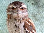 A JUVENILE tawny frogmouth has survived four days trapped behind the wheel arch of a car and a cockatoo has made it through a highway trip stuck in a bullbar.