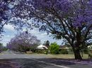 Just three weeks out from the 2015 Jacaranda Festival the trees are making their first moves to full flowering.