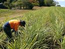 ONE of the biggest threats to cane growers is also one of the least understood.
