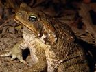 WITH the State of Origin series now under way, it seems an appropriate time to have a discussion about the menace of cane toads.
