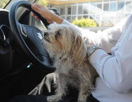 Lap dogs in the driver's seat could land you in shih-tzu