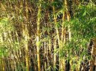 THERE are more than 1200 varieties of bamboo throughout the world but none are native to Australia.