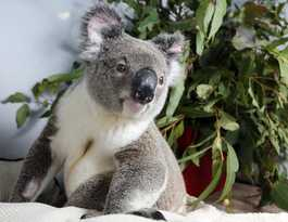 Conservation group launches to give koalas a voice