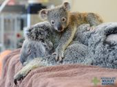 AUSTRALIA Zoo has posted some adorable photos of little koala joey Phantom holding tight to his mother Lizzie during surgery.