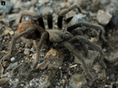 AN INFESTATION of 25,000 tarantulas from a newly-discovered species have been discovered near a tiny settlement in the Northern Territory.