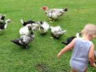 FOR eight years the residents of Forest Glen in South Gladstone have collectively cared for a group of muscovy ducks who made the community their home.