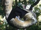 WATCH: Huge snake digests bat at Sunshine Coast home