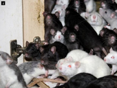 A MAN has been found living with 300 rats in a tiny two-room flat.