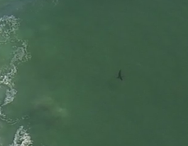VIDEO: Helicopter tracks shark suspected of attack on surfer