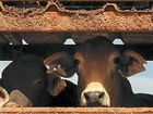 READY TO GO: With Indonesia slashing live cattle imports, exporters are looking for new markets.