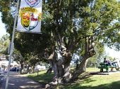 THERE are murmurs of civil disobedience, but opponents of the removal of camphor laurel trees in the Maclean CBD are keeping their cards close to their chests.
