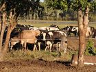 RESIDENTS are reminded to keep stock contained with Somerset Regional Council responding to an increase in complaints about wandering cattle.