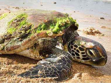 BE AWARE: This female green turtle was found in need of urgent help on Fisherman's Beach at Emu Park earlier this month.