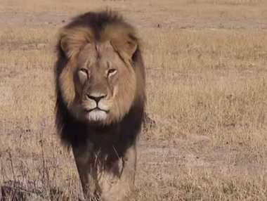 Cecil the lion has been a favourite with tourists.