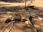 A female wild dog was trapped on the border of the Thrushton National Park, 60kms north east of Bollon by local trapper by Sid Harris.