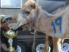 AFTER an agonising wait, the Tara Festival of Culture and Camel Races kicks – or perhaps, hoofs – off tomorrow.