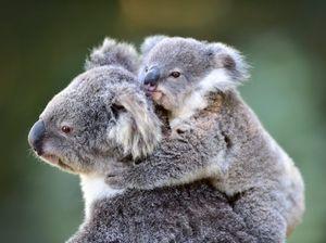 The Blackwall Range koala population is on the decline.