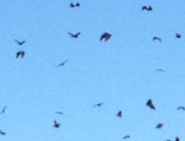 Bats fly from a tree at Granville after earthquake.