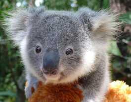 Koala management plan for Bellingen hailed as a step forward