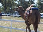 VIDEO: Tara swells with tourists for the camel festival