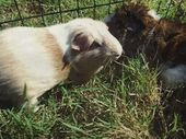 MIRIAM Vale State School students are upset that two guinea pigs have been stolen from the Prep and Year 1 classrooms.