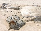 LOCAL authorities will leave the stinking carcass of a whale washed up on Back Beach at Angourie to the ghost crabs and other organisms.