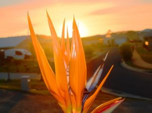Karen Simpson Kangaroo paw at sunset