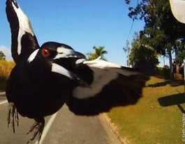 Council urging community to be cautious around magpies