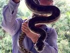 Fighting pythons battle in Caboolture and on Sunshine Coast