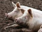 A NEIGHBOURHOOD feud over free range pigs took a dramatic turn when an unsecured gun was misused earlier this month.