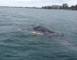Baby whale found dead in water at Alexandra Headland