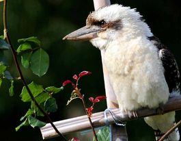 Want to bring kookaburras back to your place?
