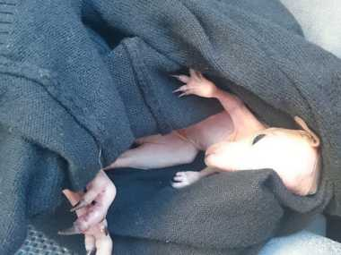 Goondiwindi Police Constable Vaughan Clacher rescued this joey after witnessing its mother being hit by a car during a highway patrol.
