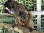 Mother gives birth to mustachioed twins in Coast zoo