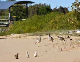 Urunga vandalism that threatens curlews referred to police