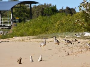 The Urunga breeding site of these endangered curlews has been put under threat by the actions of vandals.