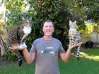 HANDS FULL: Tweed Heads animal trainer Robert Dollwet with his skateboarding cat Didga and new bengal kitten, Boomer.