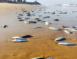 Thousands of fish beached at Buddina