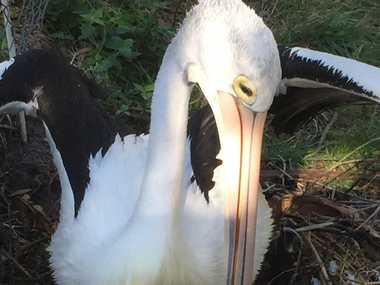 A baby pelican has hatched at Twinnies Seabird Rescue.