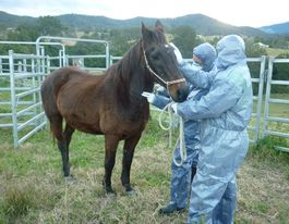 Hendra virus kills horse on Lismore property