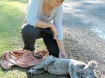 ANOTHER CASUALTY: Koala carer Natalie Richardson kneels over the body of a 5-year-old male koala who was found dead on the road near Bunya Creek.