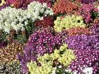 Laurel Bank Park is in full bloom for the Toowoomba Carnival of Flowers.